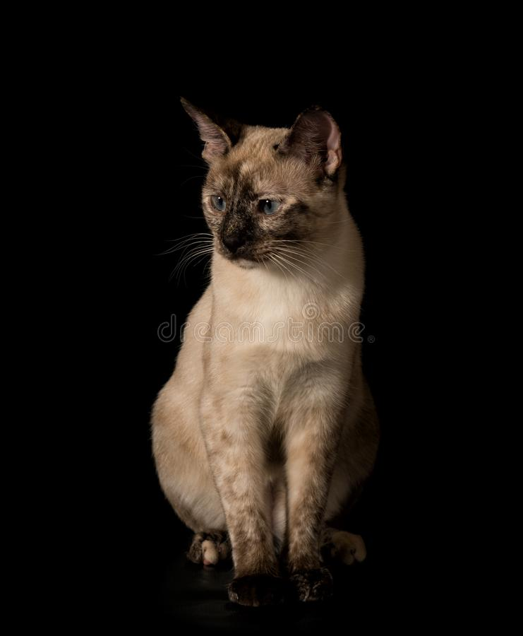 Beautiful young Siamese cat sitting against black background royalty free stock photos