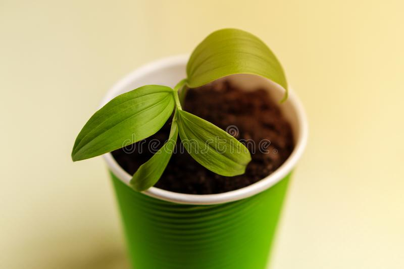 Beautiful young sprout in a green glass of paper. Close-up. Beautiful young sprout in a green glass of paper stock images