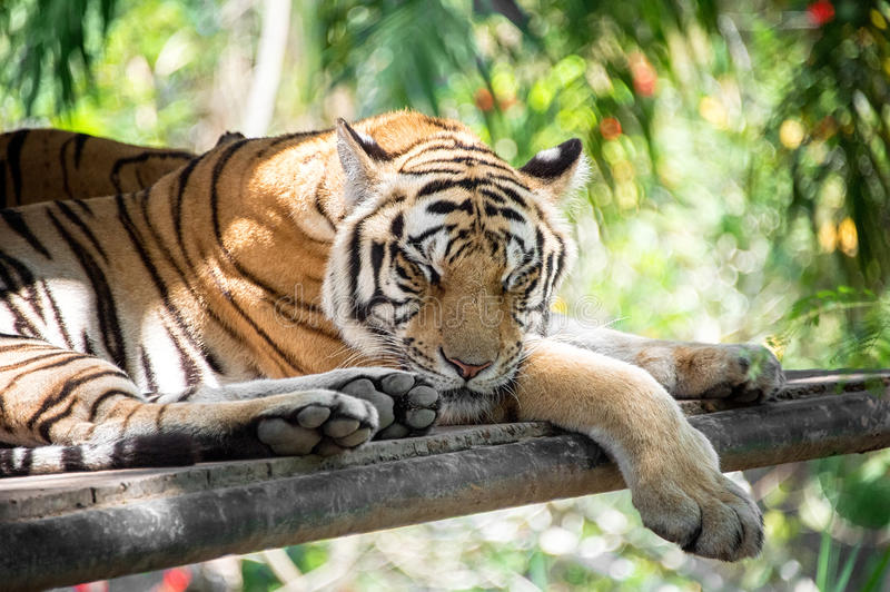 A beautiful young striped tiger is sleeping. Close-up. Horizontal frame stock images
