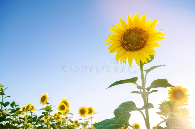 Beautiful young sunflower growing in a field on a sunny day. Agriculture and farming. Agricultural crops. Helianthus. Natural. Background. Yellow flower royalty free stock photography