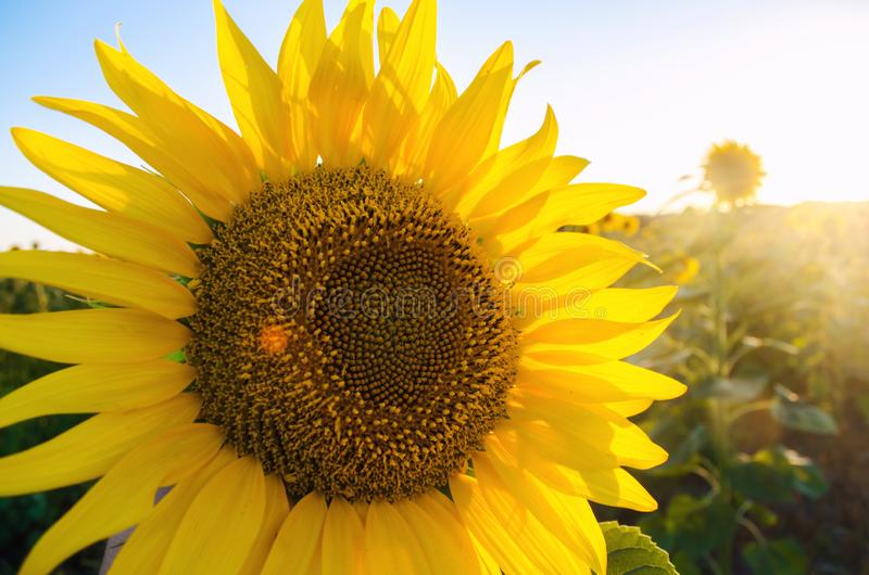 Beautiful young sunflower growing in a field on a sunny day. Agriculture and farming. Agricultural crops. Helianthus. Natural. Background. Yellow flower stock photography
