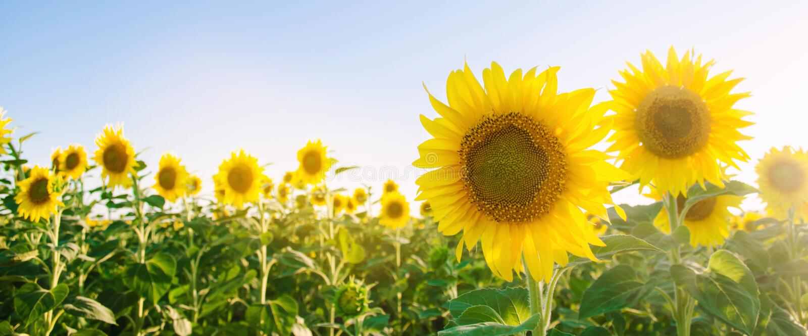 Beautiful young sunflower growing in a field at sunset. Agriculture and farming. Agricultural crops. Helianthus. Natural. Background. Yellow flower. Ukraine stock image