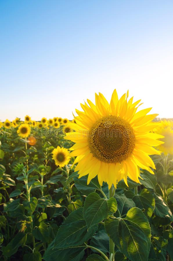 Beautiful young sunflower growing in a field at sunset. Agriculture and farming. Agricultural crops. Helianthus. Natural. Background. Yellow flower. Ukraine royalty free stock image