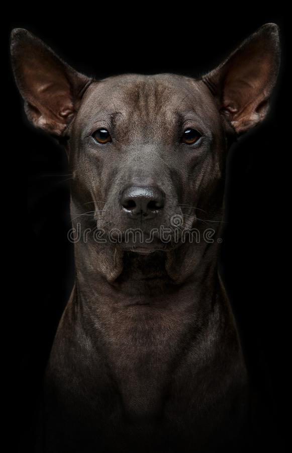 Beautiful young thai ridgeback dog on black background stock photography