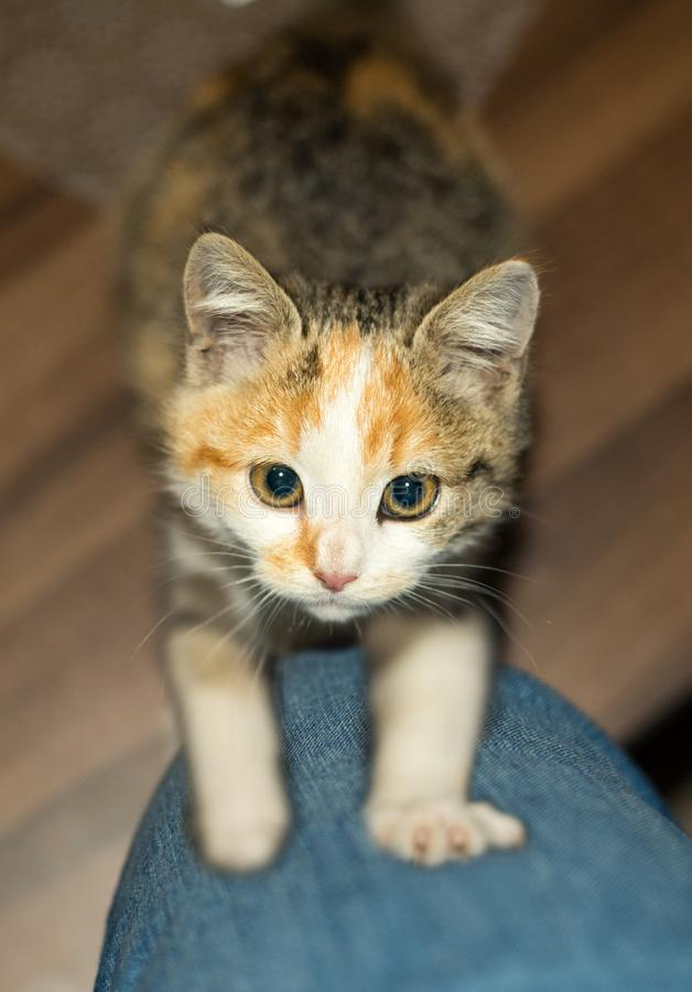 Beautiful young three colored small female kitty 2,5 month old royalty free stock image