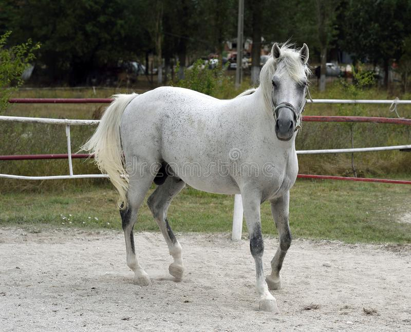 White Arabian horse. Beautiful young white Arabian horse in the stable at Mangalia stud farm, Romania stock photos
