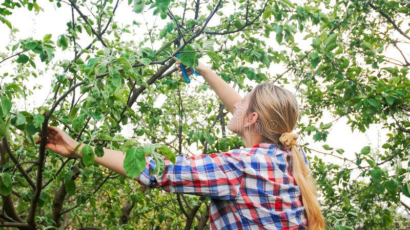 Beautiful young woman pruning apple trees in garden. Beautiful woman pruning apple trees in garden royalty free stock image