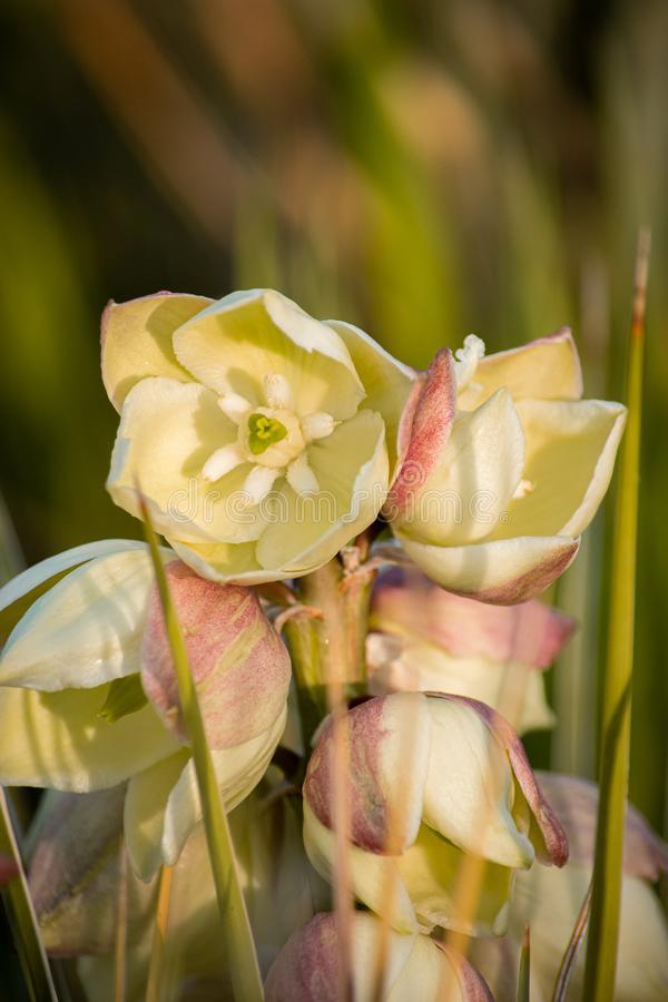Beautiful yucca blooms in evening light, Colorado. Ecology, Xeriscape, gardening concepts stock photo