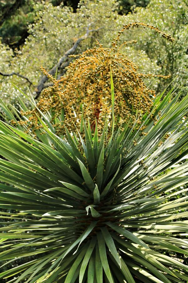 Beautiful Yucca in the garden stock image