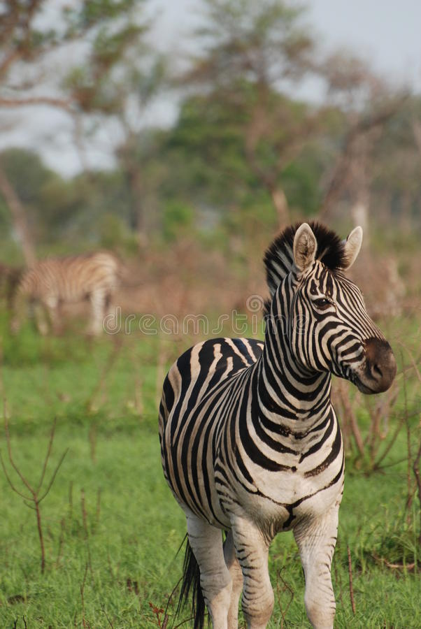 Beautiful Zebra Royalty Free Stock Image