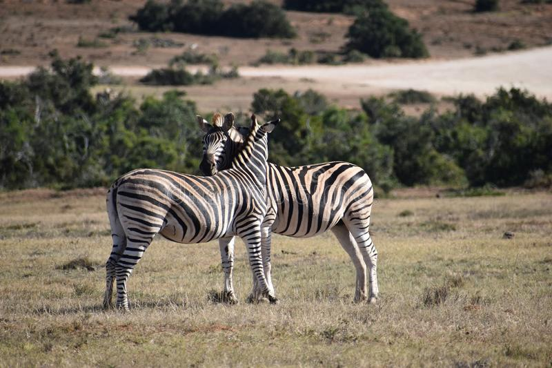 A beautiful zebra couple on a meadow in South Africa royalty free stock photography