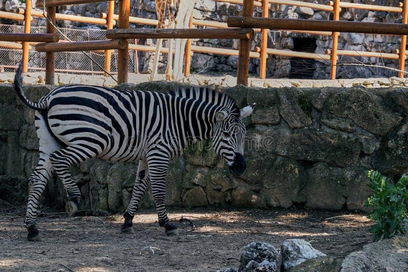 Beautiful zebra standing near the stone wall in the zoo. A beautiful zebra standing near the stone wall in the zoo stock photography