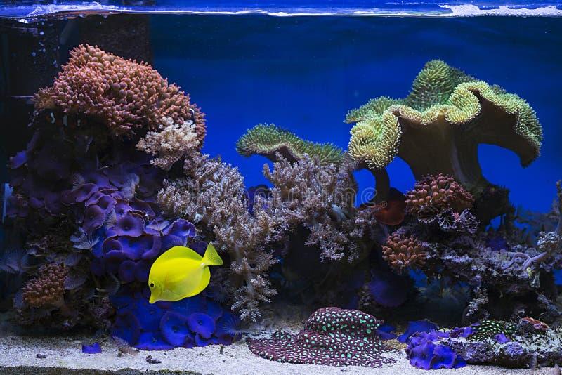 Beautiful zebrasoma salt water aquarium fish. View at beautiful zebrasoma salt water aquarium fish royalty free stock photography