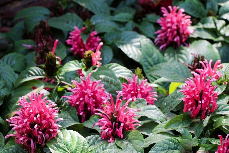 BeautifulBrazilian Blume blommar i natur arkivfoto