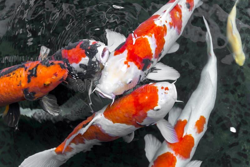 beautifulfish鲤鱼花梢/koi鱼游泳在池塘,日语 免版税图库摄影