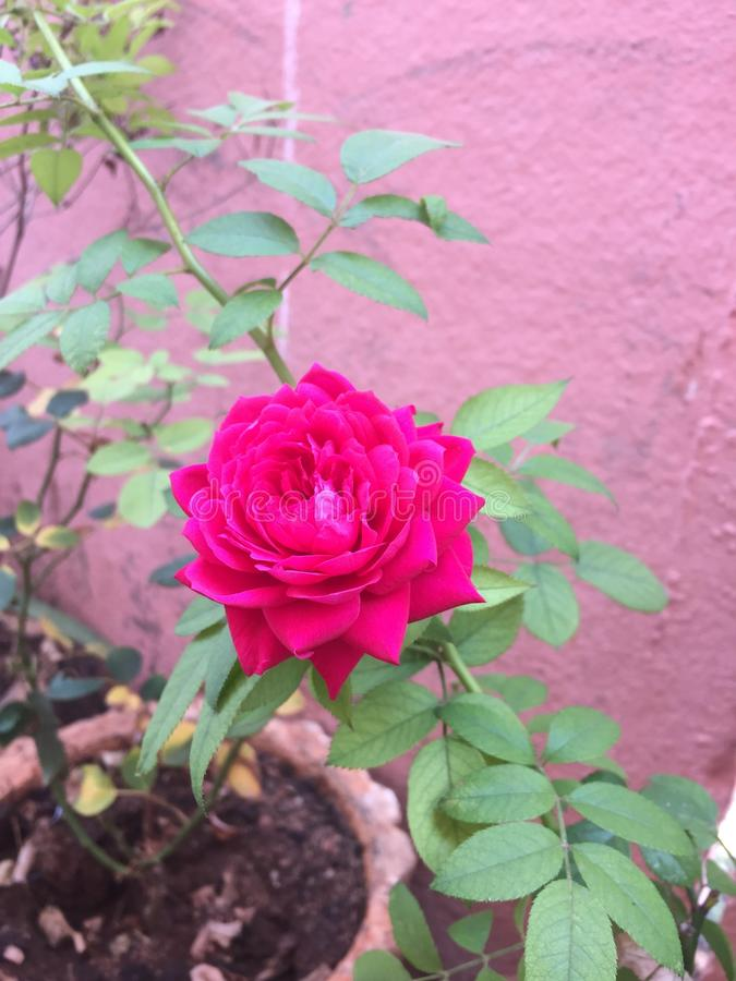A beautifull rose. A beautifull attractive red rose planted for valentine day last year royalty free stock image