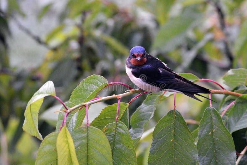 Barn swallow on the cherry tree stock photos