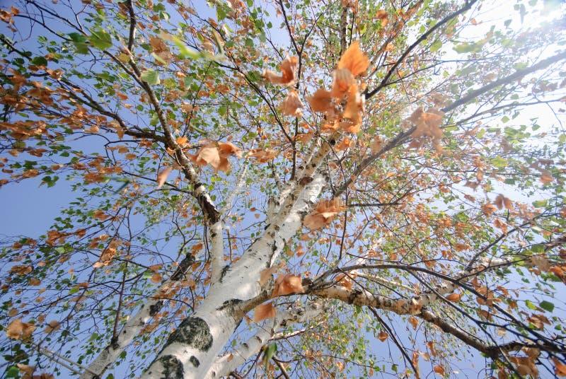 Beautifull birch tree stock photo