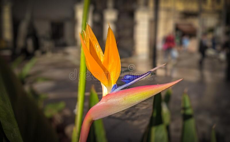Beautifull bird if paradise flower. In the city center stock images