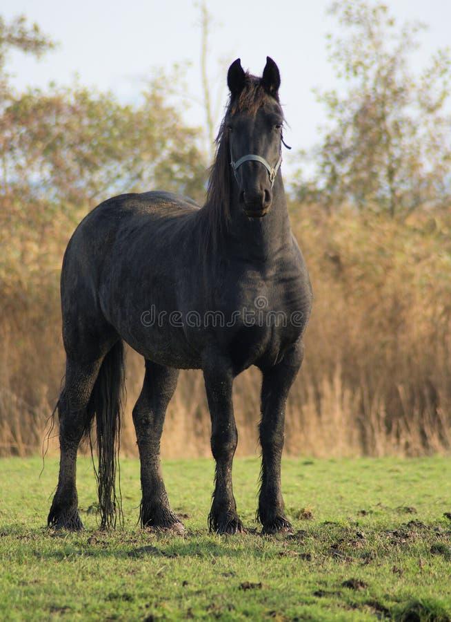 Beautifull black baroc horse. This beautifull black impressive baroc horse is watching me stock photo