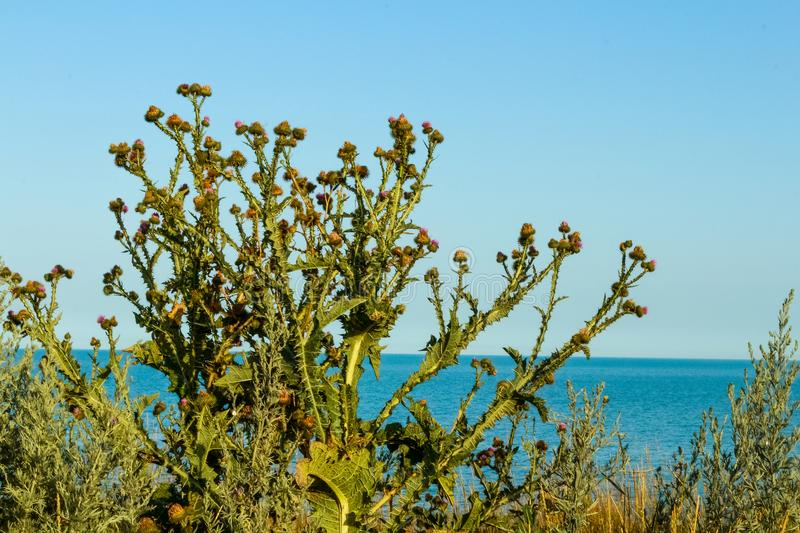 Beautifull bush of thistles against the black sea on the sunny day. stock images