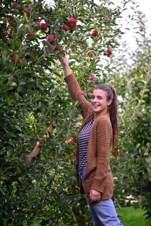 Beautifull casual girl picking apple in an orchard stock images