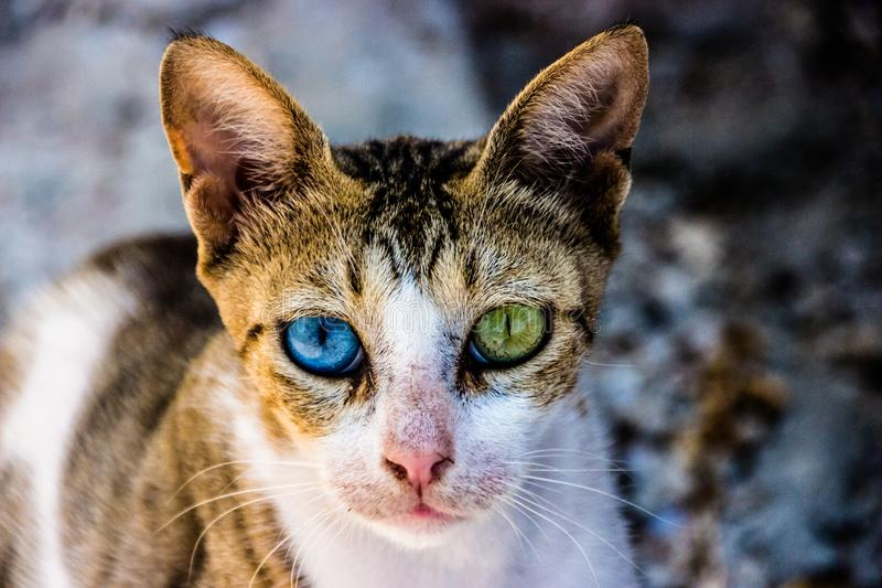 Cat with heterochromia in the eyes. Beautifull cat with an uncredible beutiful hetrochronic eyes. never seen like tis before royalty free stock photography