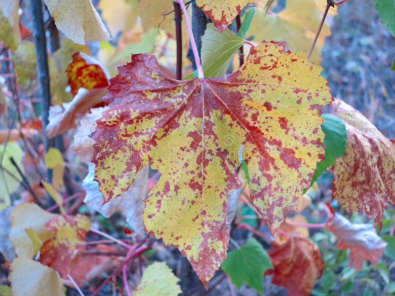 Beautifull colorful red and yellow autumn leaf royalty free stock photography
