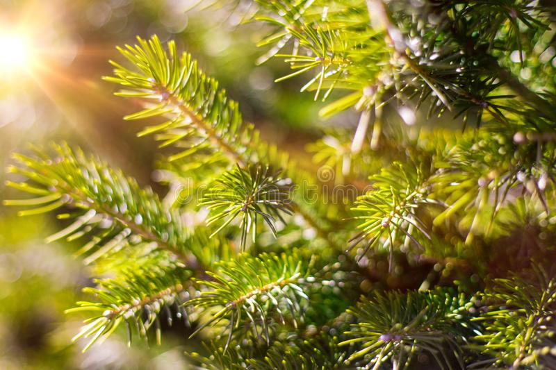 Beautifull coniferous tree on fresh natural forest background stock photography