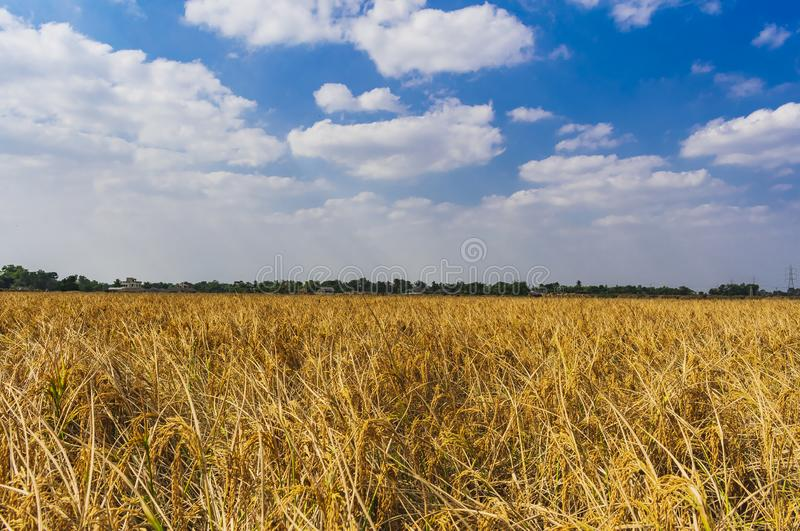 The last corp field in India. Beautifull corp fields in india West Bengal produsing rice in India royalty free stock photos