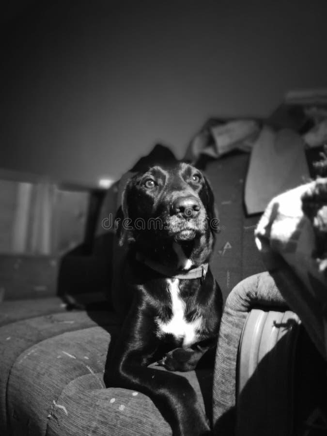 Beautifull dog Papi royalty free stock image
