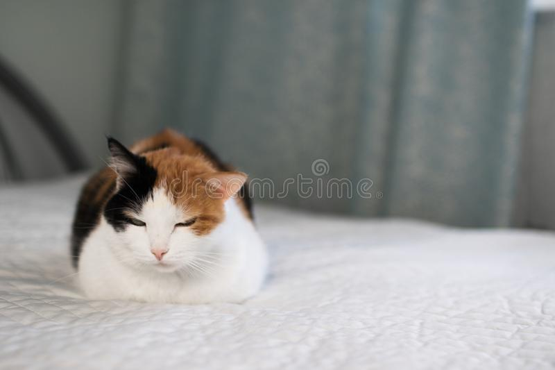 A beautifull female cat, with three colours lying on the coach. royalty free stock photo