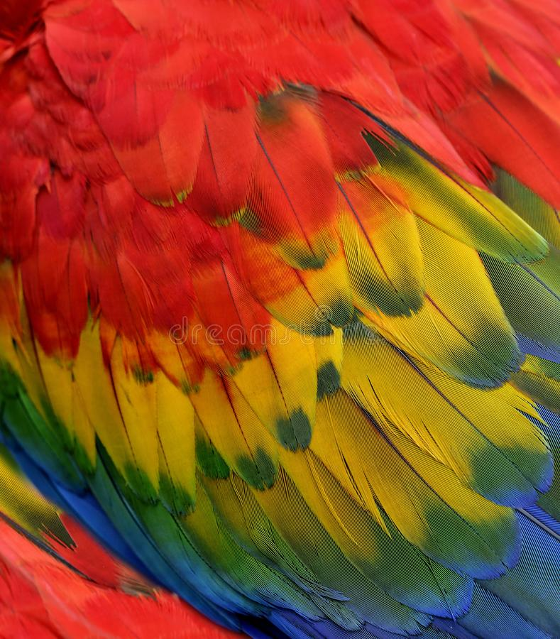 Beautifull fire looked background of bird feathers, Scarlet macar parrot with bright and vivid shades into exotic texture stock photos