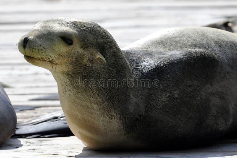 beautifull foka zdjęcie royalty free