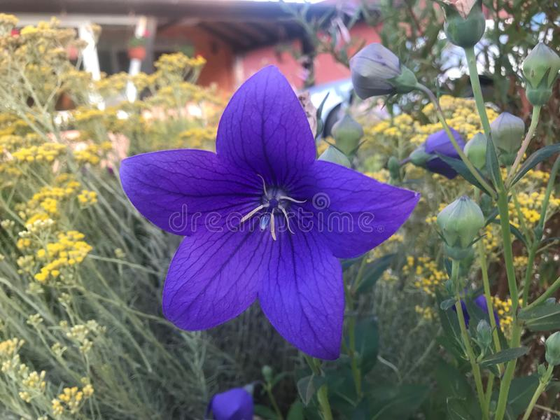 Beautifull garden flower. Purple royalty free stock images
