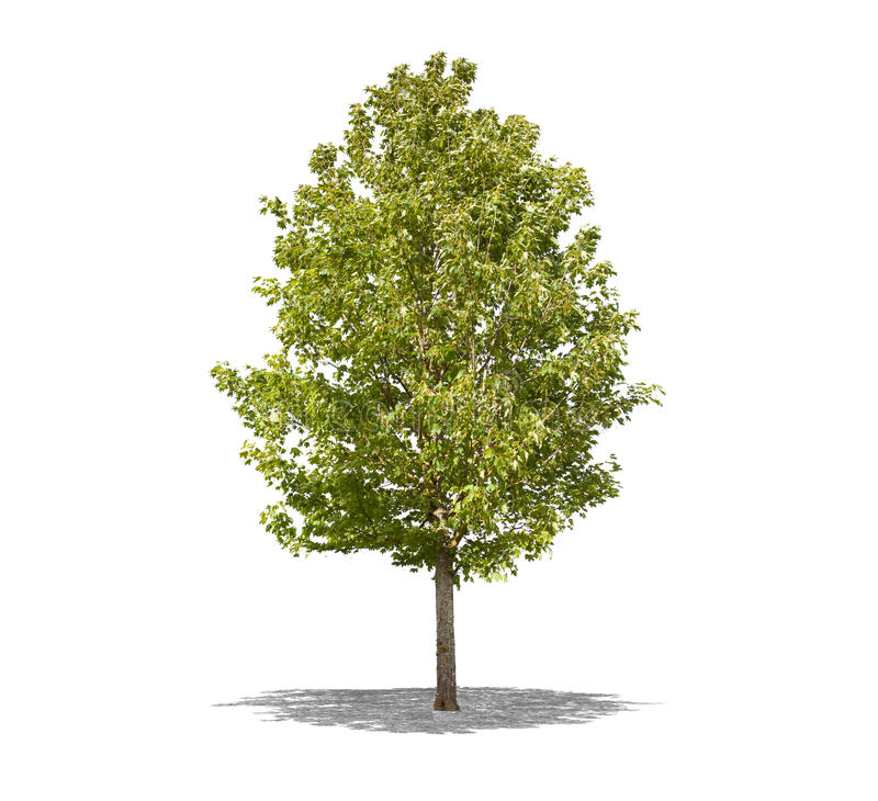 Beautifull green tree on a white background in high definition stock photo