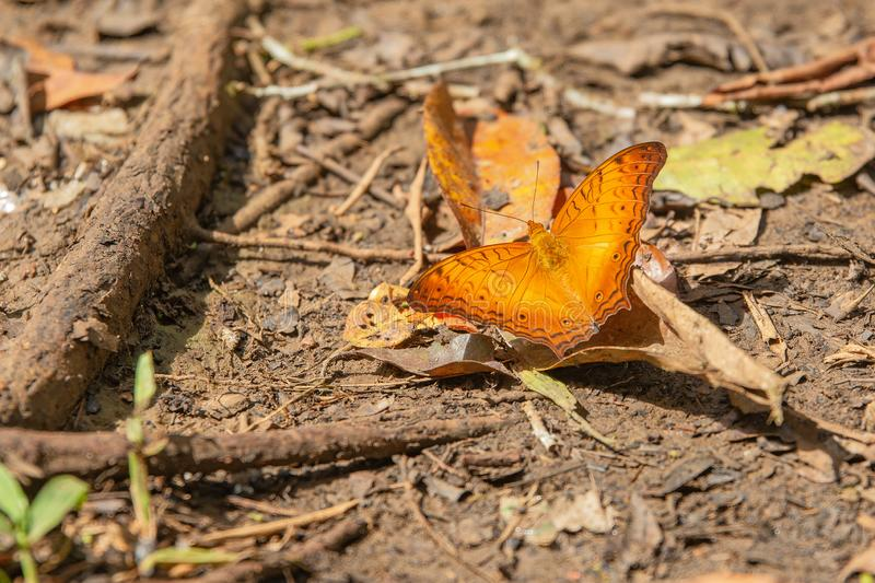 Orange butterfly on wet ground in rainforest. Beautifull orange butterfly on wet ground in rainforest. Ready to fly royalty free stock images