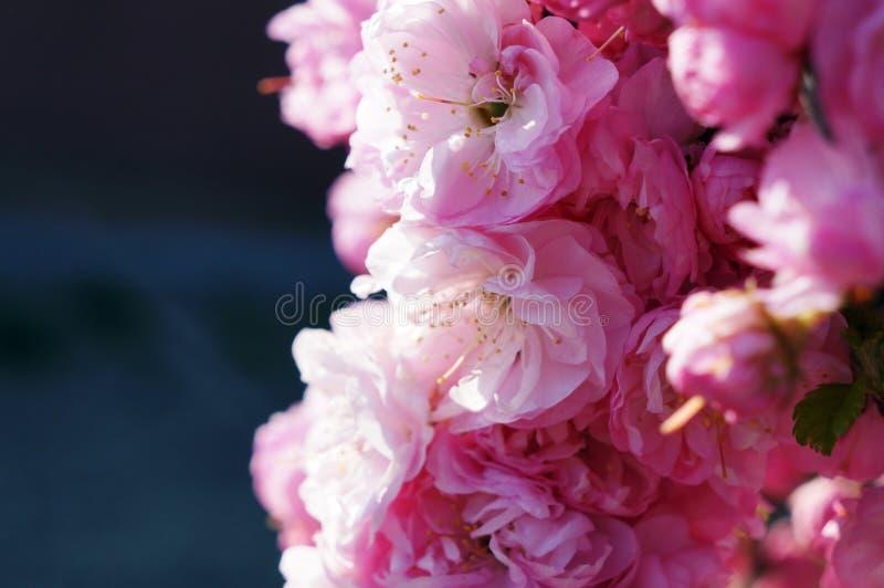 Beautifull pink flower in the garden. Beautifull pink flower in the garden in 2019 spring. Macro picture stock photo