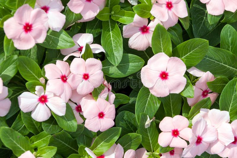 Pink flowers with green leafs as backround royalty free stock photography