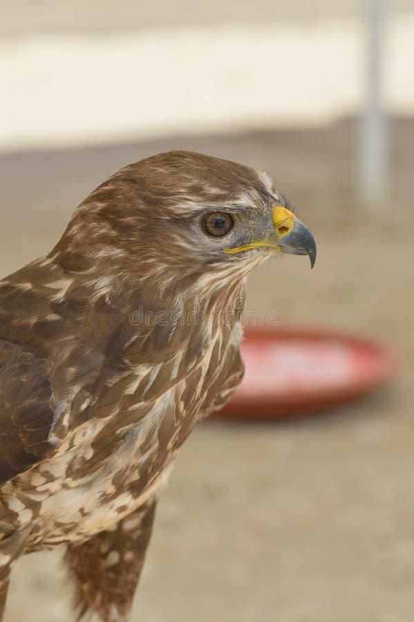 A beautifull portrait of a buzzard. Birds of prey stock images