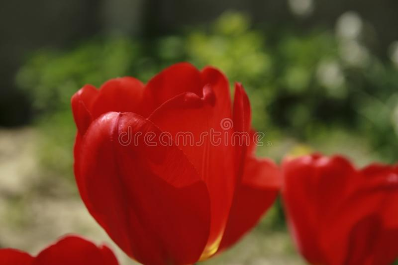 Red tullip royalty free stock images