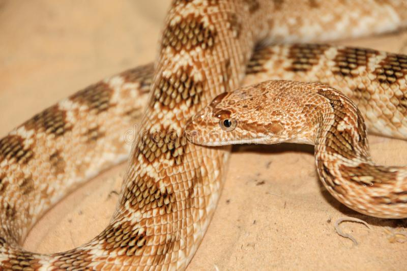 Royal snake in the desert. The beautifull royal snake in all his glory at the desert stock image