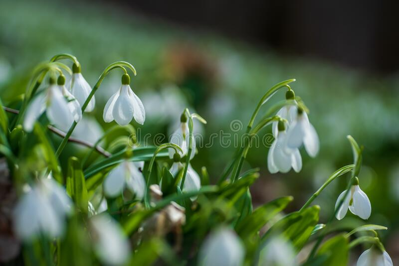 Beautifull first flowers snowdrops in spring forest. Beautifull snowdrops in spring forest. Tender spring flowers snowdrops harbingers of warming symbolize the royalty free stock photography