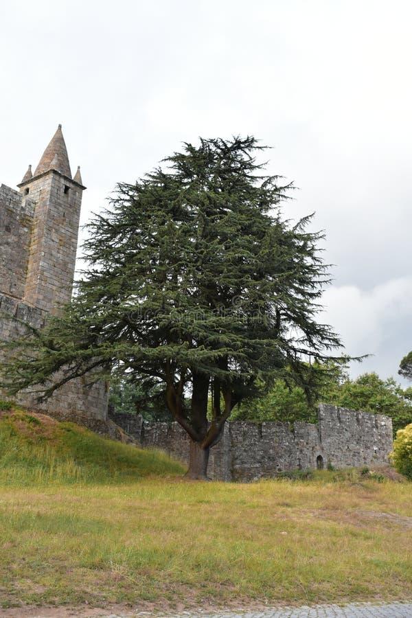 Beautifull tree in Santa Maria da Feira Castle. stock photography