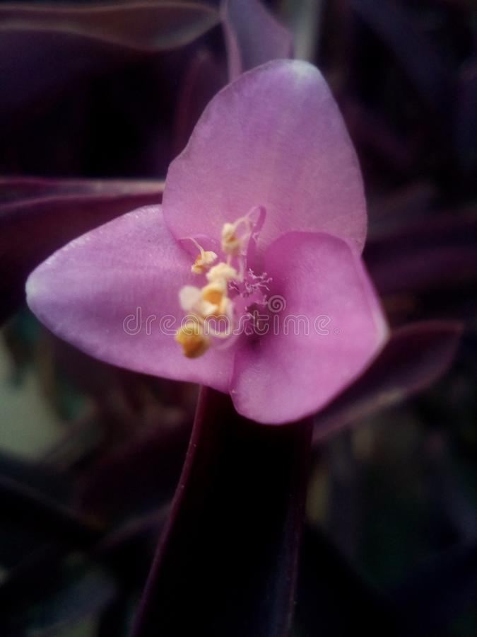 Beautifull violet flower royalty free stock photo