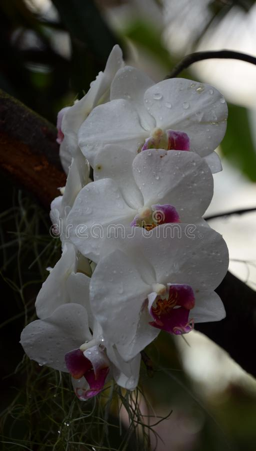 Phalenopsis orchid white with pink in botanical garden. A beautifull white orchid in bloom. Photo was taken in botanical garden stock photography