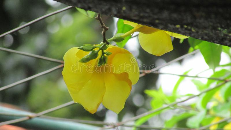 Beautifull yellow of flowers. The beautifull colour of flowers, can make a people felling comfy royalty free stock photo