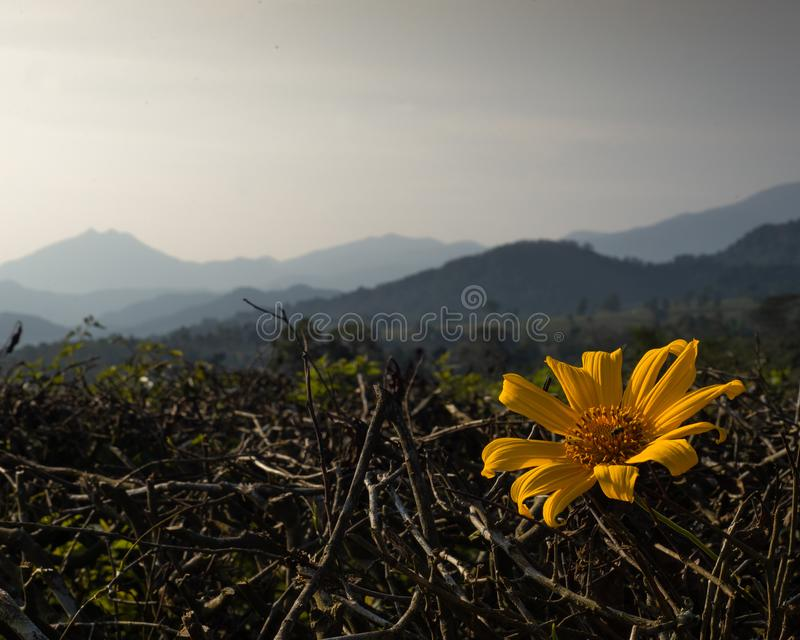 Beautifull yellow flowers with mountains lanscape as background. Beautifull yellow flower with mountains lanscape as background taken around lembang, bandung royalty free stock photos