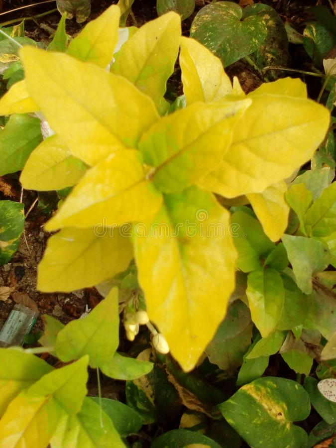 Beautifull yellow and green leaves of plant royalty free stock photography