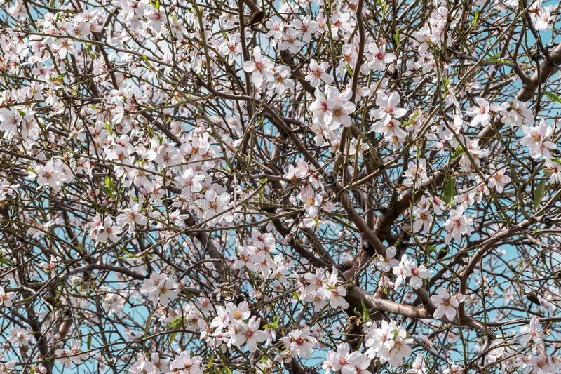 A beautifully blossoming almond tree. Blue sky shines through the branches. Spring Pink Floral Background stock photos